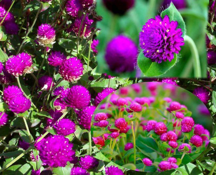 Hình ảnh hoa bách nhật hồng
