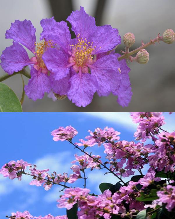 Hình ảnh hoa bằng lăng