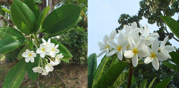 Hình ảnh cây hoa đại