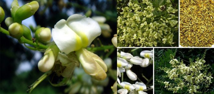 Hình ảnh hoa hòe