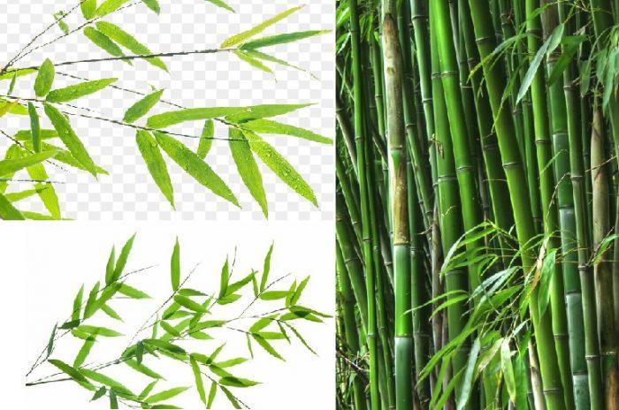Hình ảnh lá tre rất quen thuộc ở vùng nông thôn Việt Nam