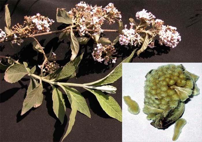 Hình ảnh mật mông hoa
