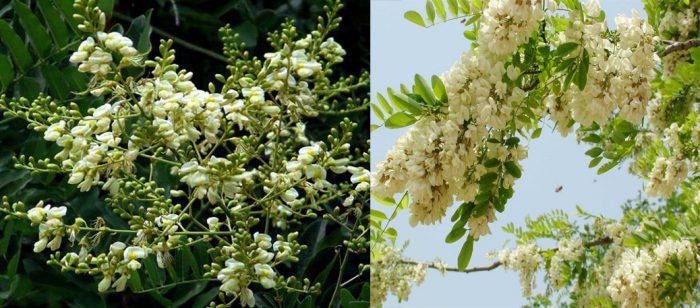 Tác dụng của cây hoa hòe là gì và cách dùng cây hoa hòe như thế nào