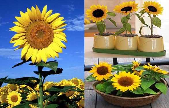 Hoa hướng dương là gì?