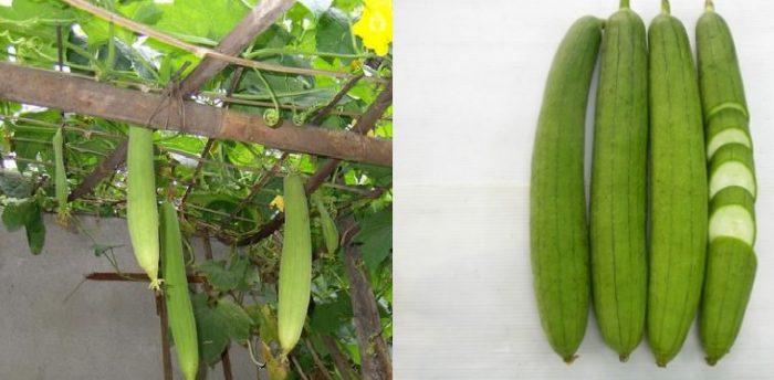 Thành phần dược chất của mướp hương có tác dụng gì và cách trồng