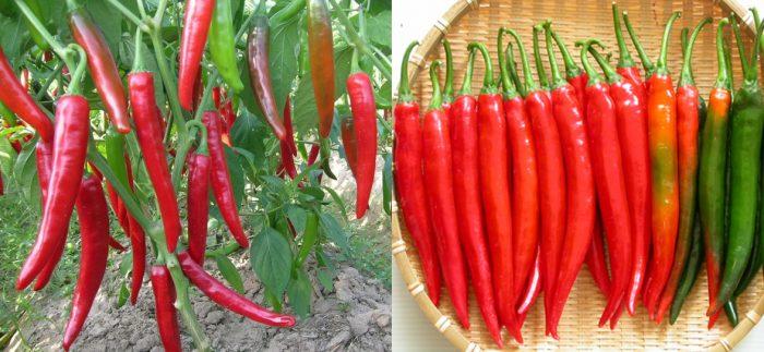 Thành phần dược chất của quả ớt có tác dụng gì và cách dùng quả ớt