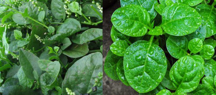 Thành phần dược chất của rau mồng tơi có tác dụng gì và cách trồng