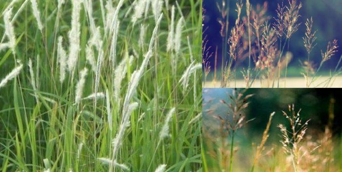 Tác dụng bất ngờ của cây cỏ may đối với con người