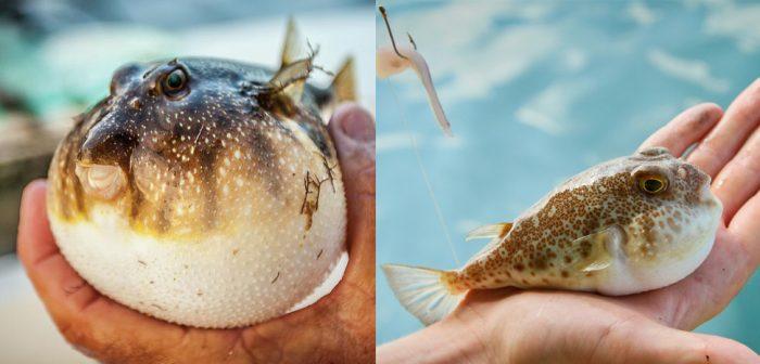 Tác dụng của cá nóc