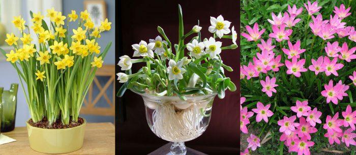 Tác dụng của cây hoa thủy tiên