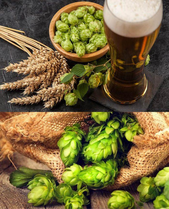 Tác dụng của hoa bia trong sản xuất bia