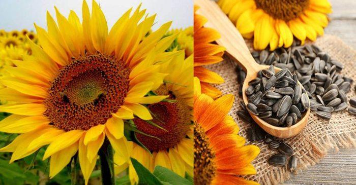 Tác dụng của hoa hướng dương