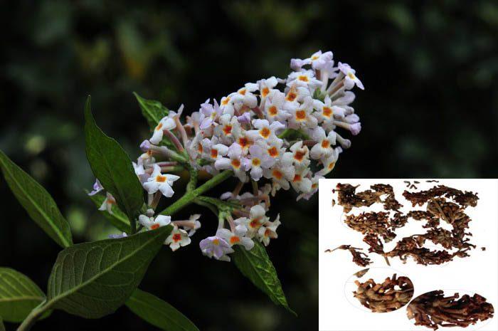 Tác dụng của mật mông hoa