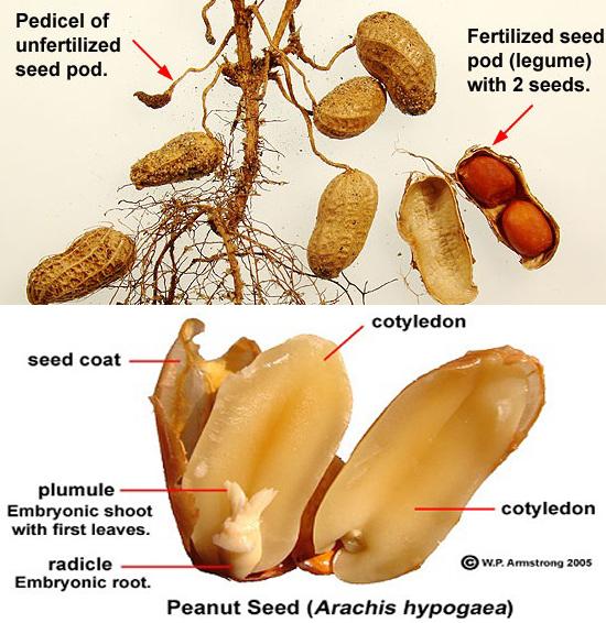 Thành phần dược chất của cây đậu phộng