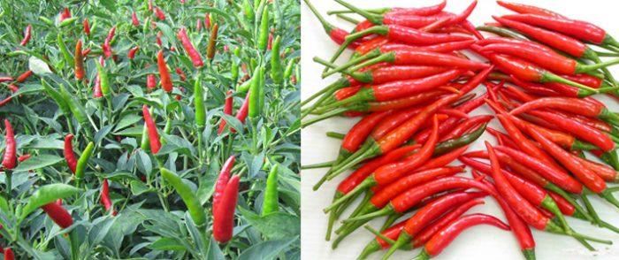 Thành phần dược chất của quả ớt