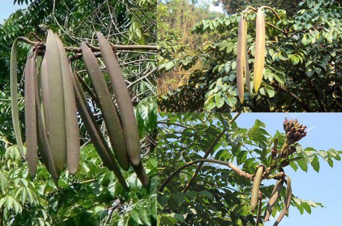 Cây núc nác và tác dụng của cây núc nác cùng cách dùng chữa bệnh