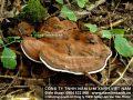 Nấm lim xanh rừng Lào