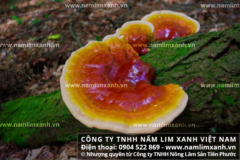 Cây nấm lim xanh hỗ trợ điều trị các bệnh nguy hiểm