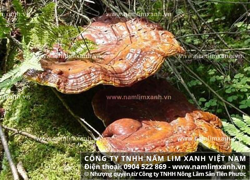 Giá bán 1kg nấm lim xanh ở Nghệ An với cách dùng và địa chỉ bán