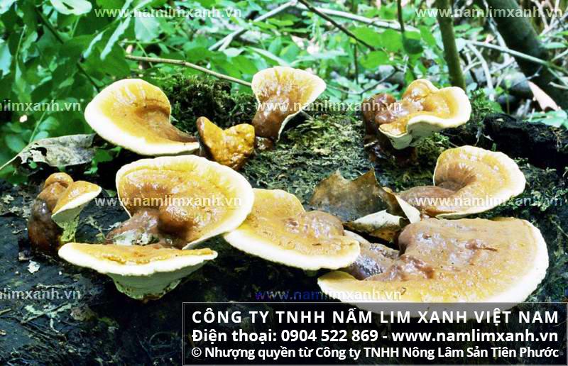Giá bán nấm lim xanh ở Hà Giang và tác dụng nấm lim Tiên Phước