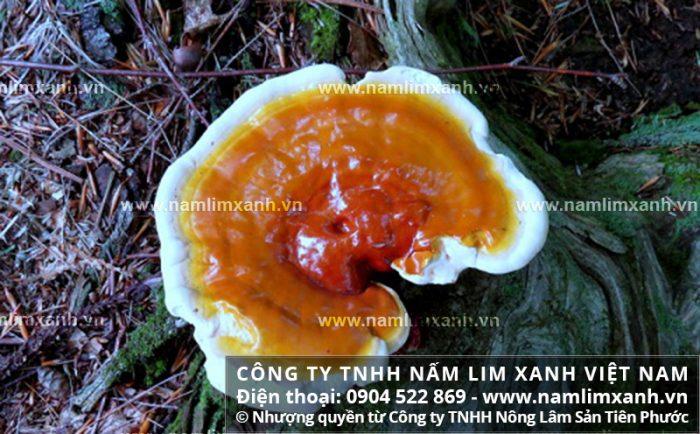 Giá bán nấm lim xanh ở Lào Cai và phân biệt nấm lim xanh rừng