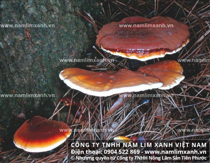 Giá bán sản phẩm nấm lim xanh tại Ninh Thuận với địa chỉ bán nấm