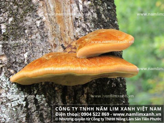 Hình ảnh cây nấm lim xanh rừng tự nhiên