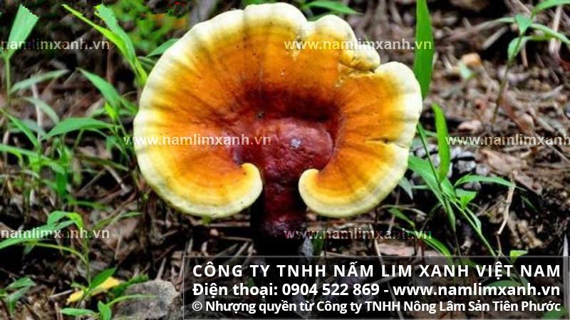 Mua bán nấm lim xanh tươi trong rừng tại Hà Nam ở đâu tốt với tác dụng