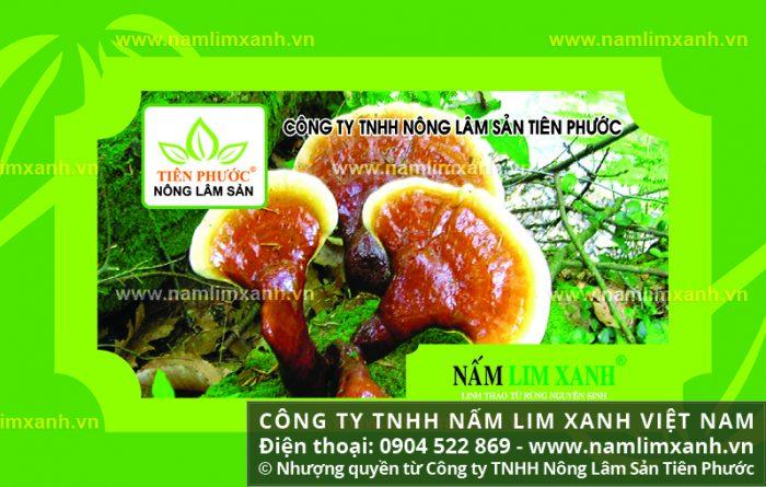 Sản phẩm nấm lim xanh chính hãng tại Thái Bình