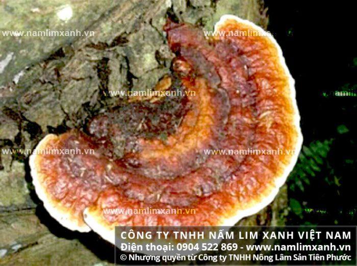 Tìm mua nấm lim tận gốc ở Khánh Hòa với cách phân biệt và giá nấm