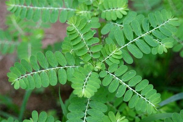 Điều trị xơ gan hiệu quả nhờ thảo dược thiên nhiên